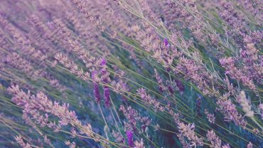 The Benefits of Lavender on Pain, Stress and Sleep